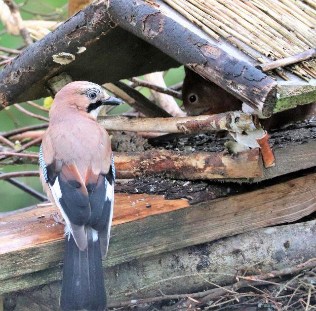 Ein Eichelhäher sitzt vor einem Vogelhaus, in dem ein Eichhörnchen futtert.
