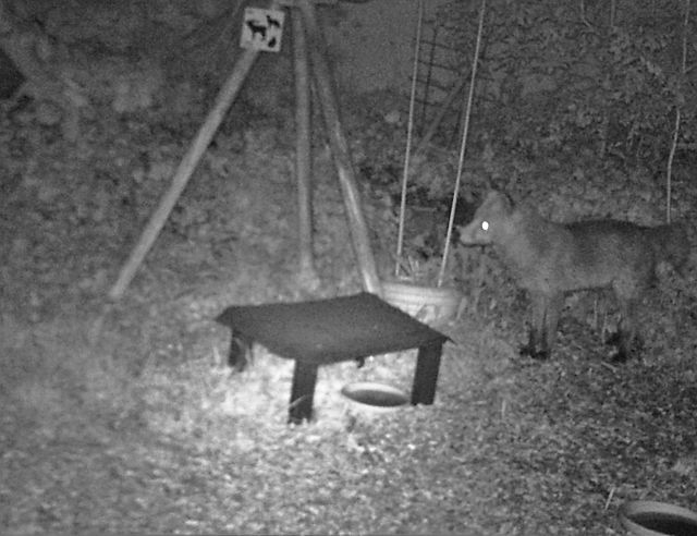 Ein Fuchs hält inne. Er steht in einem Garten. Im Vordergrund ein kleines Dach, darunter Futter für die Igel.