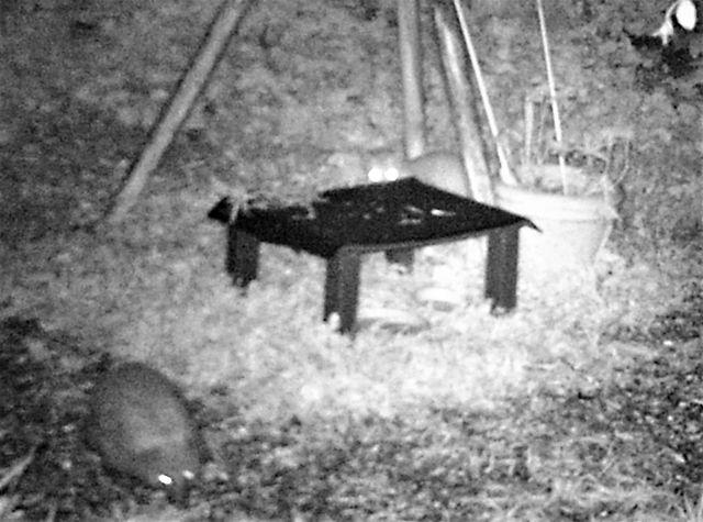 Ein Marder schaut nach einem Igel.