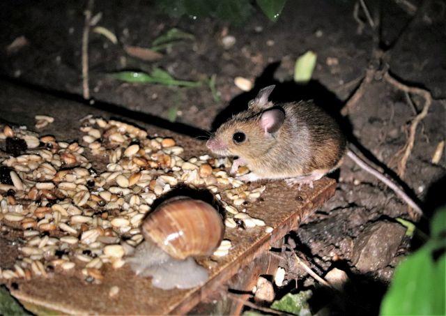 Eine braune Weinbergschnecke und eine grau-braune Maus sitzen auf Resten von Vogelfutter, z. B. Haferflocken.
