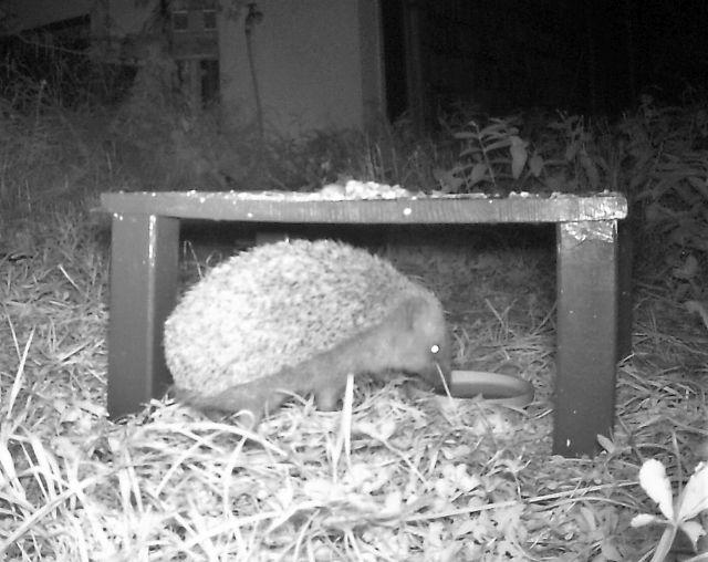 Ein relativ großer Igel sitzt unter einem kleinen Holzdach, das den Futternapf gegen Regen schützt.
