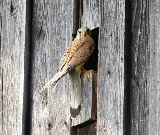 Ein Turmfalke mit helbraunen Federn und schwarzen Flecken. Er sitzt am Einflugloch zu seinem Nest in einem Heuschober.