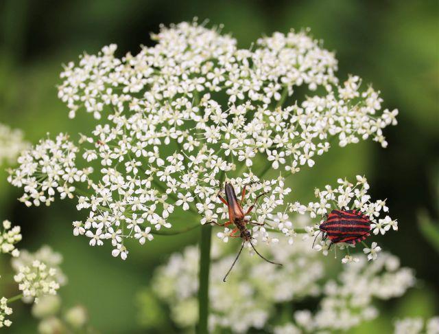 Zwei Insekten auf weißen Blüten. Eine Blattwanze ist rot mit schwarzen Streifen.