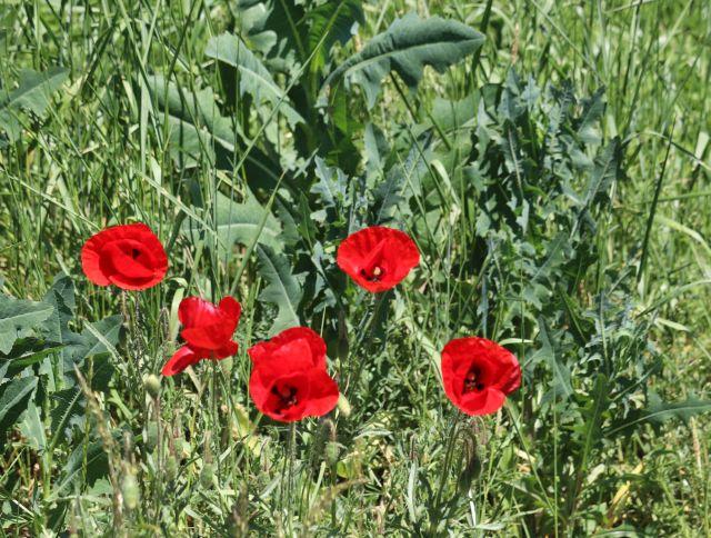 Einige rote Mohnblumen mit Disteln.