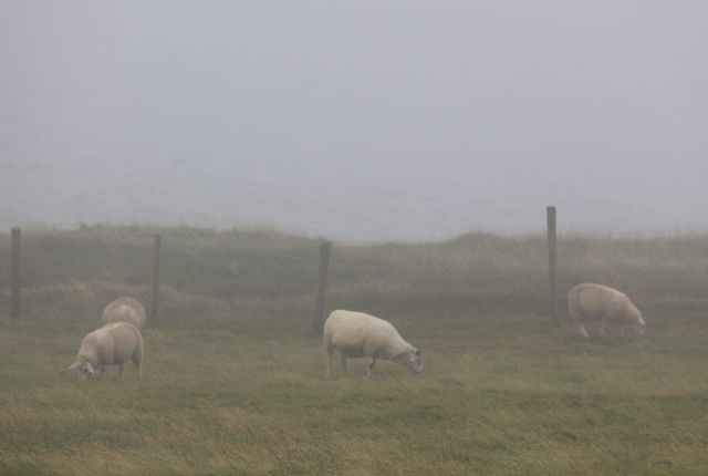 Schafe mit hellem Fell im Nebel.