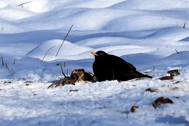 Eine Amsel sitzt im Schnee und frisst an alten Äpfeln auf einer Streuobstwiese.