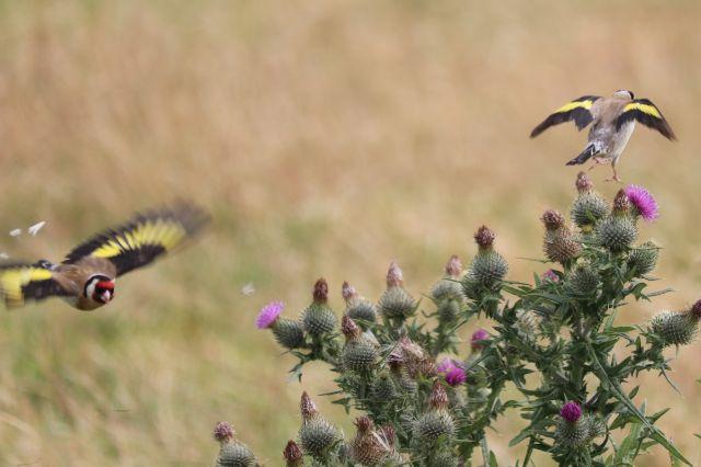 Ein Distelfink fliegt von einer Distel mit Blüten weg, ein anderer ist im Landeanflug.