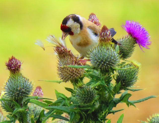 Ein Distelfink zieht Samen aus einer verblühten Distel heraus.