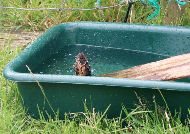 Ein weibliches Schwarzkehlchen badet in einer grünen Wanne, einer Tränke für Schafe. Es sitzt auf einem eingelegten Brett.