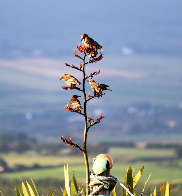 Junge Stare sitzen an den Blüten eines Neuseeländischen Flachs und holen sich Nektar.
