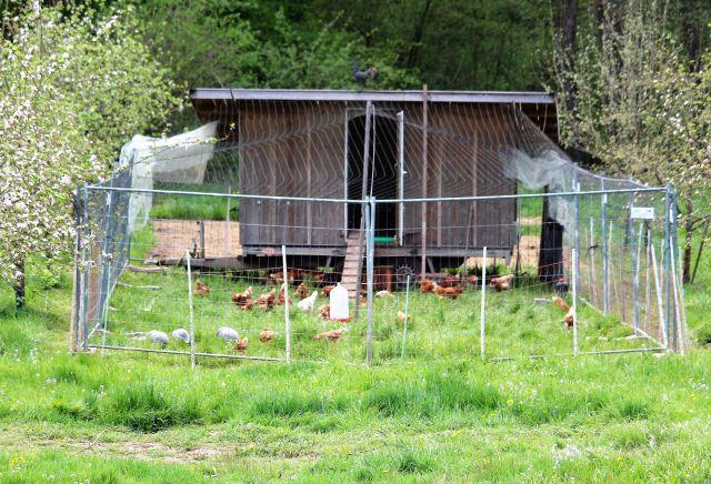 Hühner und einige Puten in einem Freigelände - umgeben von einem hohen Zaun. Sie haben ein Hühnermobil für die Nacht.