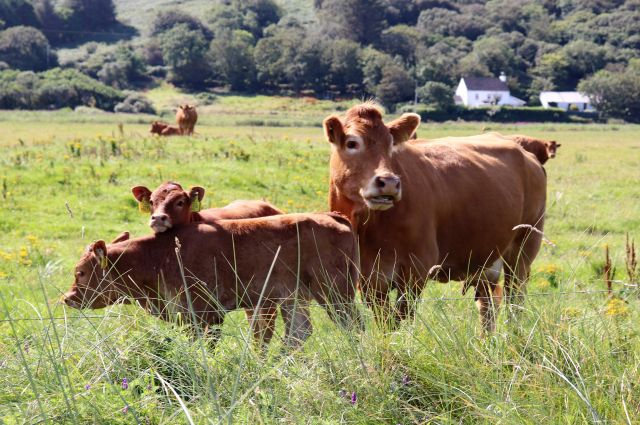 Eine braune Kuh mit zwei Kälbern. Im Hintergrund weitere Rinder.