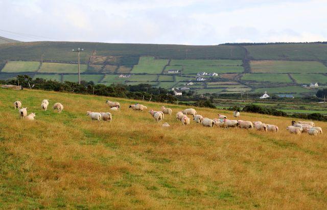 Helle und zwei dunkelbraune Schafe auf einer Wiese.