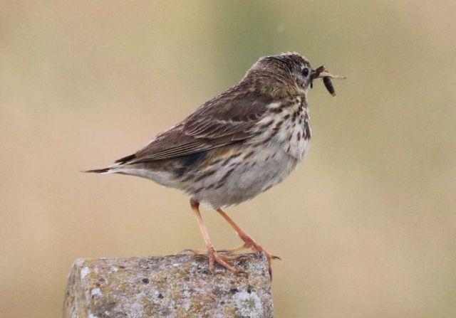 Ein Wiesenpieper auf einem Betonpfahl. Der Vogel ist hellbraun am Unterkörper und dunkler bei den Rückenfedern. Er hat ein kleines Tier im Schnabel.