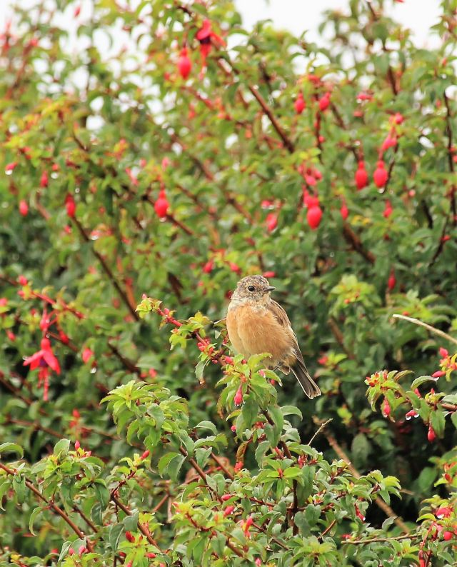 Ein kleiner Vogel, überwiegend in Brauntönen, sitzt in einer Fuchsienhecke mit roten Blüten.