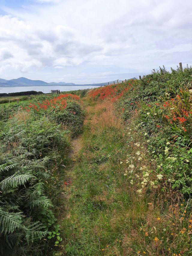 Ein Wiesenweg umgeben von Brombeerhecken, die wegen der zahlreichen rotblühenden Montbretien kaum erkennbar sind.