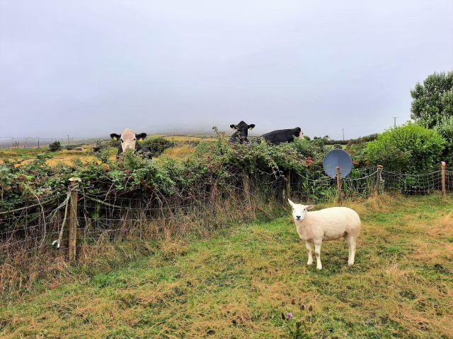 Dichte Brombeerhecke zwischen einer Weide mit Schafen und Kühen auf der nächsten Wiese.